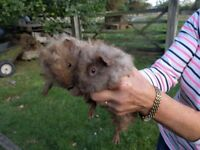 Pair of 8 week old male guinea pigs for sale