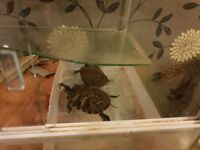 For sale a pair of yellow belly terrapins