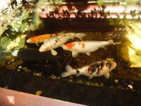 A Selection of 6 Koi Carp, 1 Black Common Carp plus 1 Sturgeon Fish