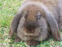 Female chocolate brown dwarf lop bunny