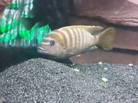 Mbuna Cichlids Male and Female 4.5in to 5in