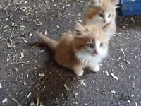 persian kittens lovely and fluffy