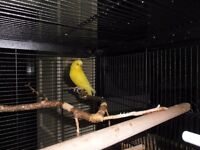 Yellow Male Budgie