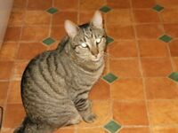 SALTDEAN FOUND YOUNG FEMALE TABBY CAT