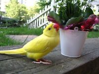 Lovely yellow & White 12 Weeks talking Parrots from £130