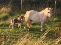 Shetland mare and foal