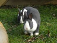TULIP LODGE Rabbit & Guinea Pig Boarding Selby North Yorkshire