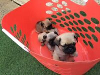 Pug puppy's for sale not French Bulldog/
