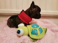 Pedigree french bulldog