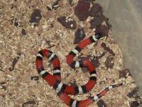 7 Pueblan milk snakes for sale