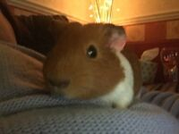 Lonely female guinea pig looking for a forever home
