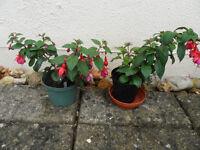 Fuchsia plants 'Pippa' large flowers - Pokesdown BH5 2AB