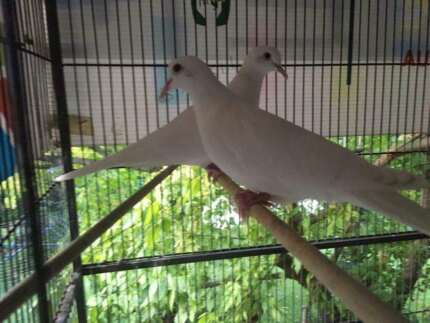 White Doves with Cage