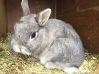 Beautiful Netherlands dwarf rabbit