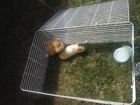 Two cute guinea pigs for sale ☺️ And cage!