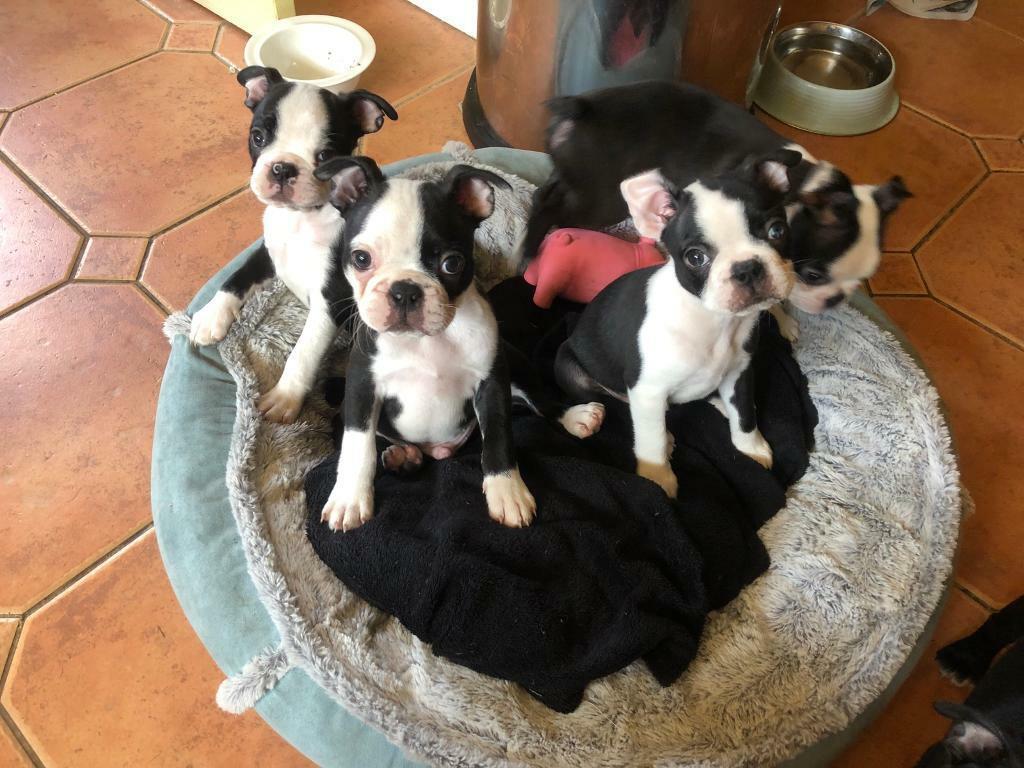 Wildax Sired Kc Reg Boston Terrier Puppies In Ascot Berkshire Gumtree