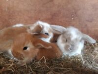 Giant french lop baby rabbits