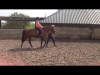 12.2hh pony for sale