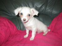 chihuahua white long coat boy ready now