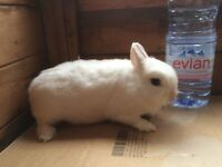 Pure Netherland Dwarf rabbit white Doe