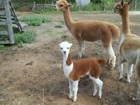ALL 19 OF OUR ALPACAS ARE FOR SALE