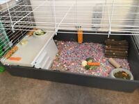 Male, baby guinea pig for sale, comes with cage, bedding/food and toys.