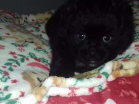 Male Pug x Pomeranian Pup forsale Now £450