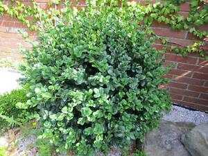 Buxus sempervirens rotundifolia boxwood round leaf bosso for Bosso vaso