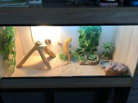 6 Month Old Bearded Dragon And Full Set Up