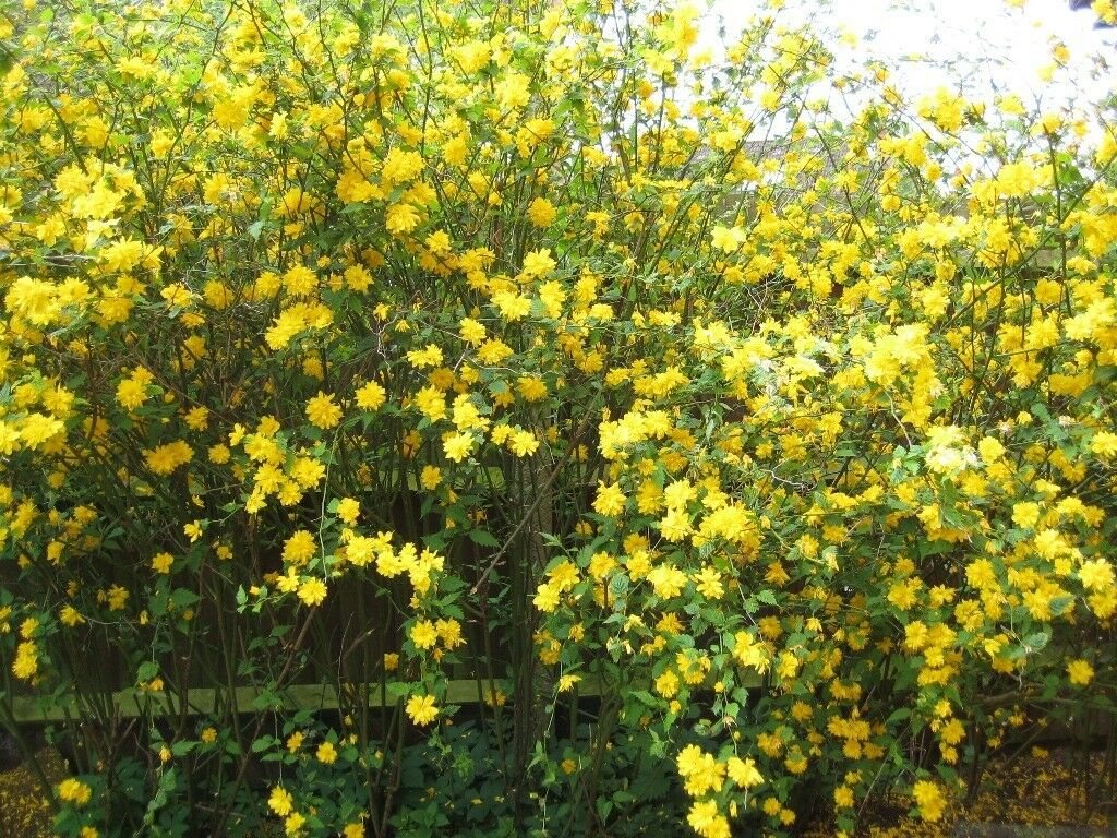 Kerria Shrub Yellow Flowers In Cambridge Cambridgeshire Gumtree