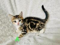 8 week stunning kittens