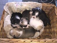 Chihuahua cross Bichon Frise (Chi Chon) Puppies