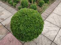 "Home grown box ball plants (buxus sempervirens) 50cm (1ft 8"") dia. Other sizes from £15 each"