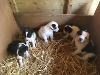 Five collie puppies for sale