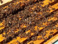 Overwintered Honey Bees