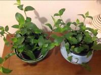 2 Tradescantia fluminensis plants