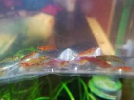 Various Tropical community fish for sale