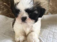 Champion sired Shih Tzu Puppy