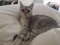 Lost slim silver grey tabby cat South Norwood SE25 on the 4th October - reward offered