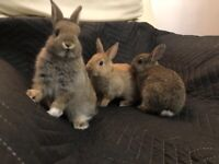 Netherland baby dwarf rabbits (two reserved)