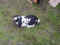 Male lop sold