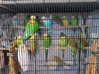 Very large sized english budgies rare colours for sale