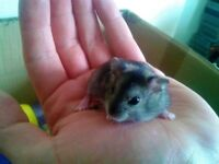For sale baby Dwarf hamsters