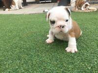 Full kc English Bulldog Puppies