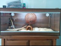 Corn Snake with vivarium and all equipment needed to care for it