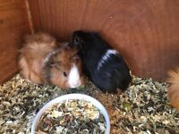 Baby female guinea pigs for sale
