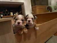 English Bulldogs, Ready to leave