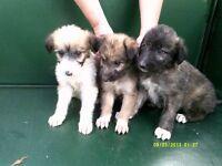 Beddington terrier X Border Collie puppies