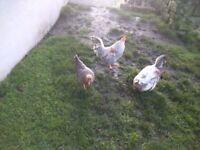 Cream legbar trio