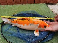 Koi fish and Gold fish for sale